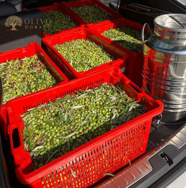 die ersten Olivo Dorato Oliven