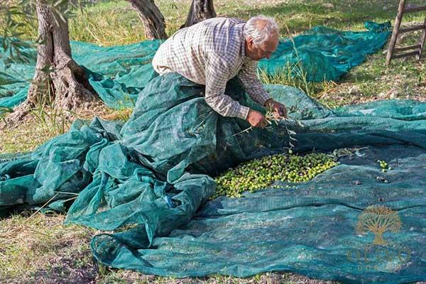 Netze werden ausgelegt um die Oliven zu sammeln