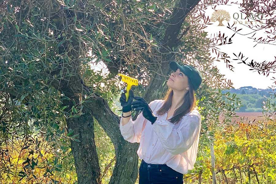 olivenernte mit der hand