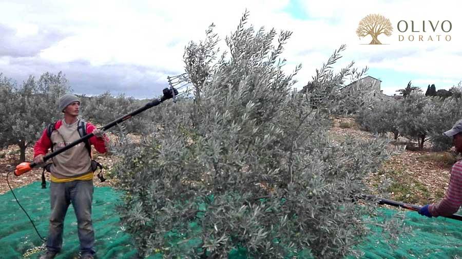 Olivenernte mit Rüttler