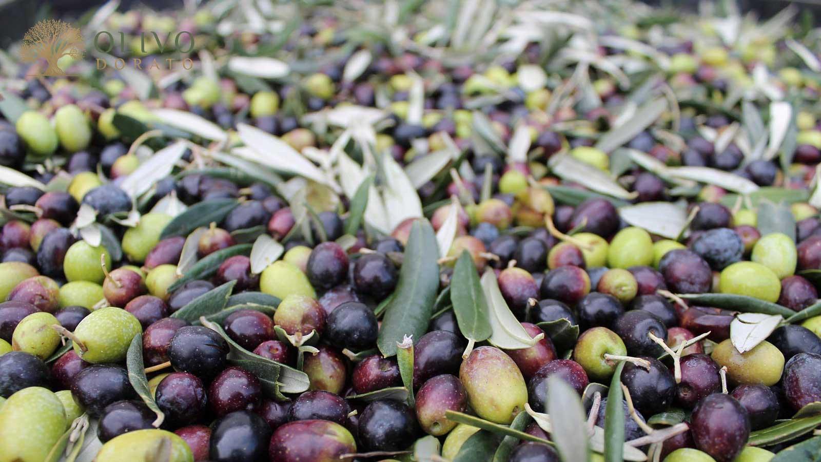 Taggiasca Oliven aus Ligurien