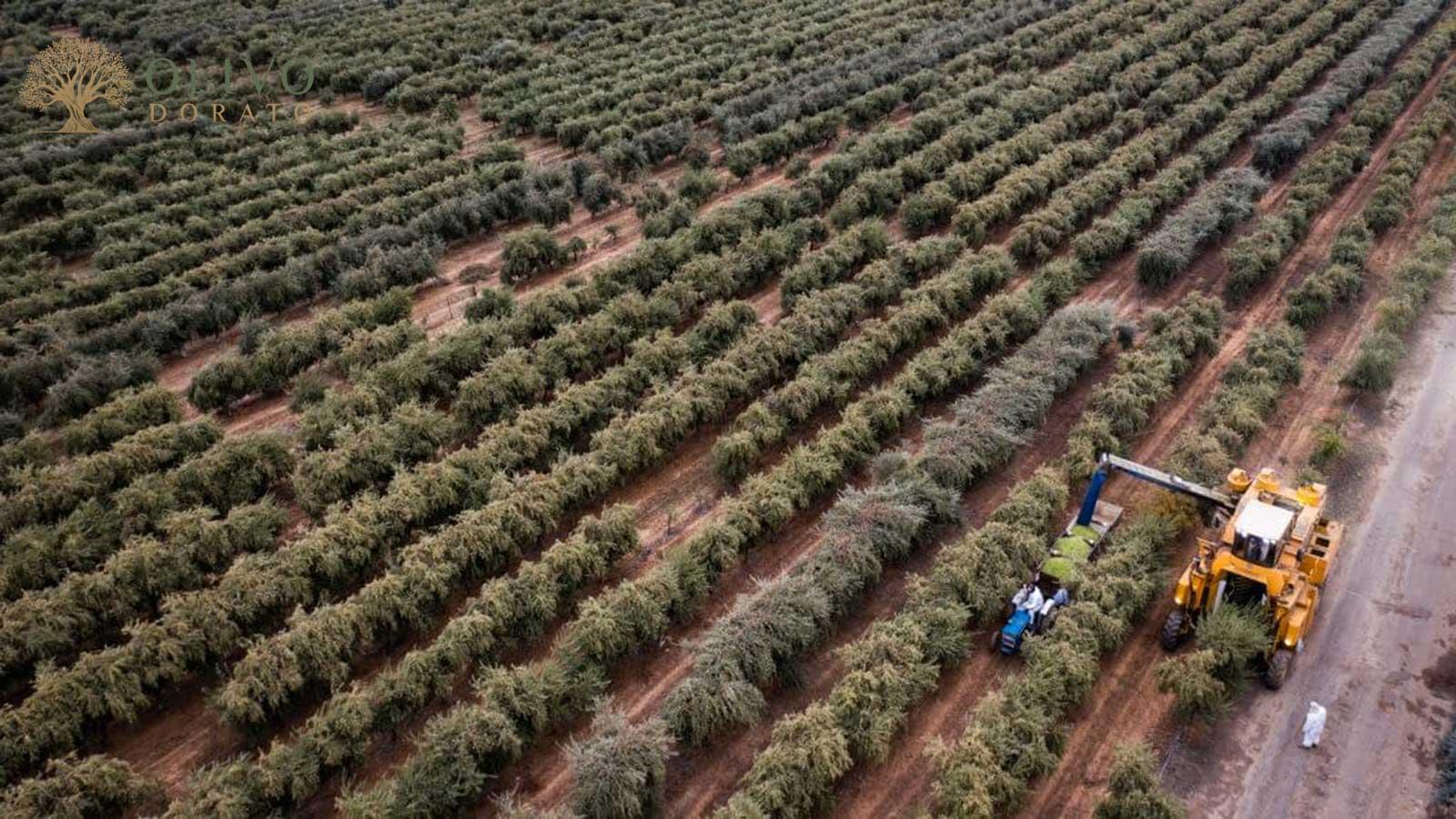 hier werden die besten Oliven angebaut